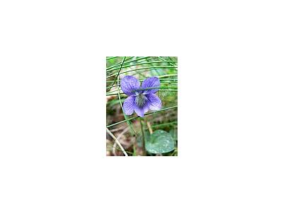 Photo Small Common Dog Violet 2 Flower