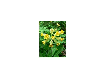 Photo Small Cowslip Flower