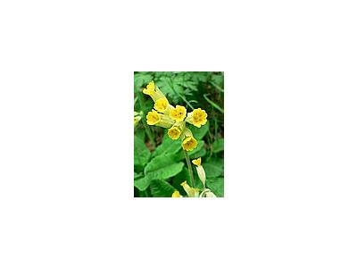 Photo Small Cowslip 2 Flower