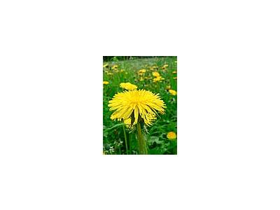 Photo Small Dandelion 2 Flower