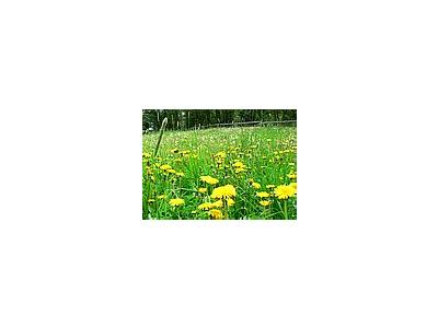 Photo Small Dandelion Field Flower