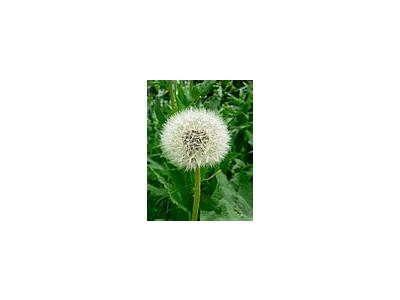 Photo Small Dandelion Seed Flower