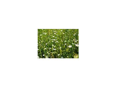 Photo Small Field Of White Daisys Flower