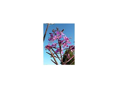 Photo Small Fireweed Flower