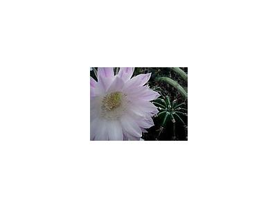 Photo Small Flowering Cactus Flower