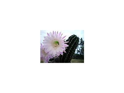 Photo Small Flowering Cactus 2 Flower