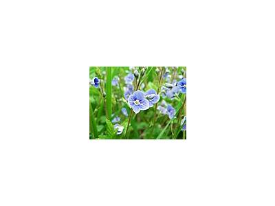 Photo Small Germander Speedwell Flower