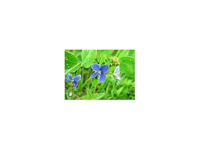 Photo Small Germander Speedwell 2 Flower