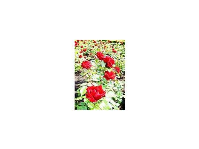 Photo Small Ingrid Bergman Roses Red Flower