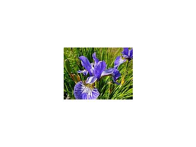 Photo Small Iris Blue Flower