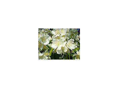 Photo Small Jasmine Bush Flower