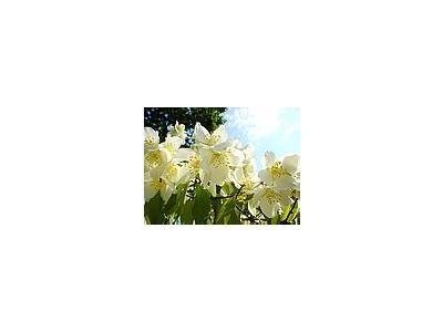 Photo Small Jasmine Bush 2 Flower