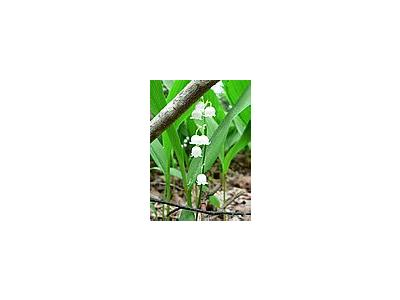 Photo Small Lily Of The Valley Flower