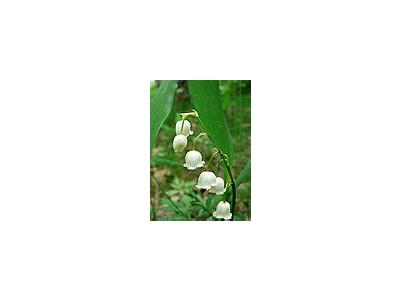Photo Small Lily Of The Valley 2 Flower