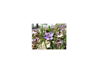 Photo Small Liverleaf Flower