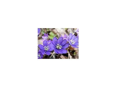 Photo Small Liverleaf 2 Flower