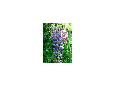 Photo Small Lupine Blue Flower