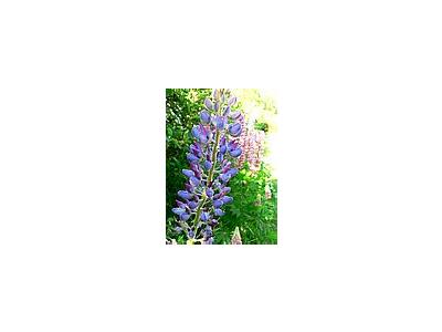 Photo Small Lupine Blue 2 Flower