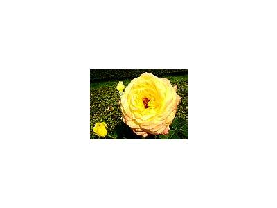 Photo Small Peer Gynt Roses Yellow Flower