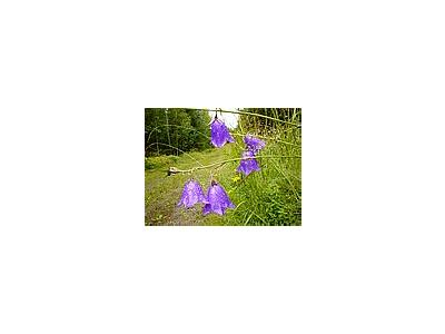 Photo Small Purple Bells Flower
