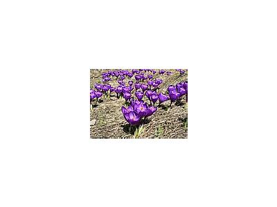 Photo Small Purple Crocus Flower