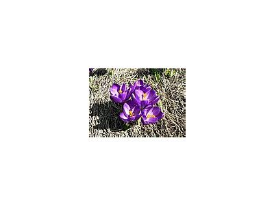 Photo Small Purple Crocus 2 Flower
