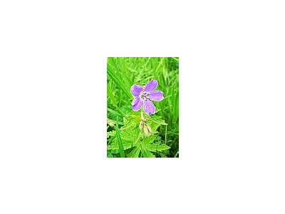 Photo Small Purple Wild Flower Flower