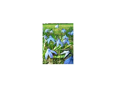 Photo Small Siberian Squill Flower