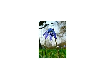 Photo Small Siberian Squill 2 Flower