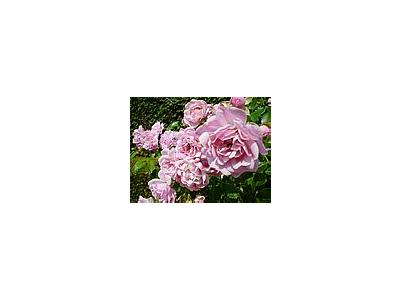 Photo Small The Queen Of Sweden Roses Pink Flower