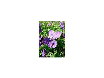 Photo Small Violet Flower