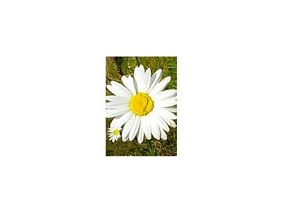Photo Small White Daisy Flower