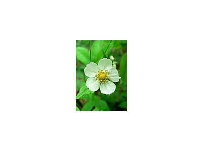 Photo Small Wild Strawberry Flower Flower