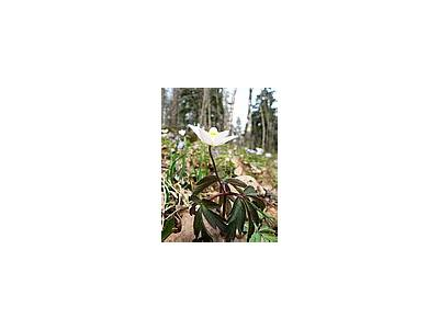 Photo Small Wood Anemone Flower