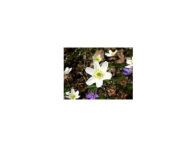 Photo Small Wood Anemone 2 Flower