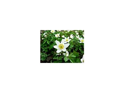 Photo Small Wood Anemone 3 Flower