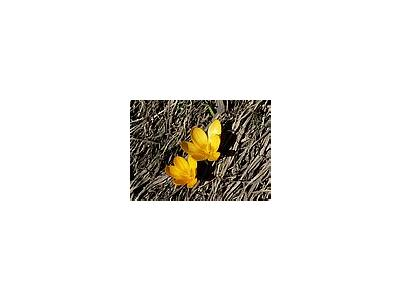 Photo Small Yellow Crocus Flower