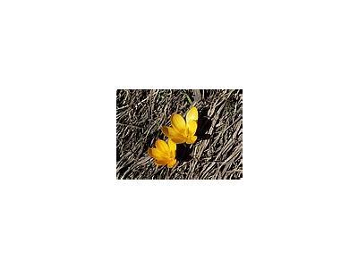 Photo Small Yellow Crocus Flower