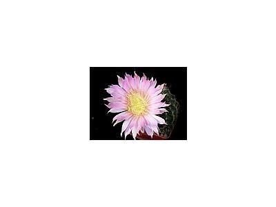 Photo Small Cactus 71 Flower
