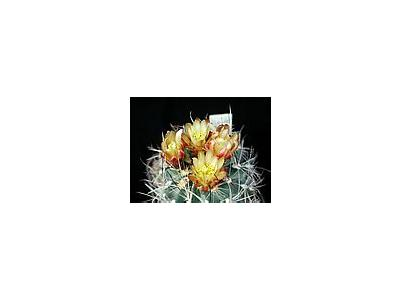 Photo Small Cactus 1 Flower
