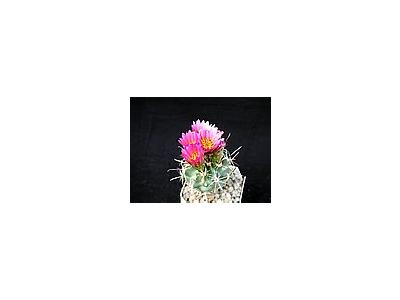 Photo Small Cactus 12 Flower
