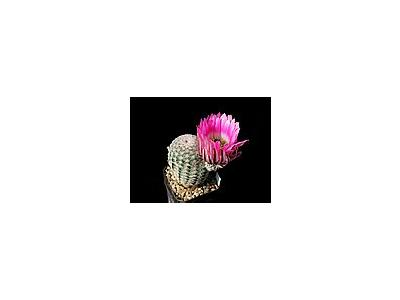 Photo Small Cactus 22 Flower