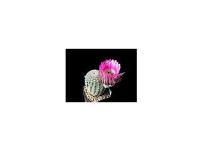 Photo Small Cactus 23 Flower