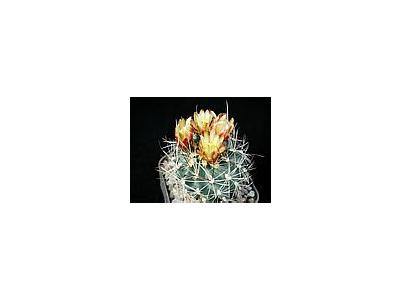 Photo Small Cactus 3 Flower