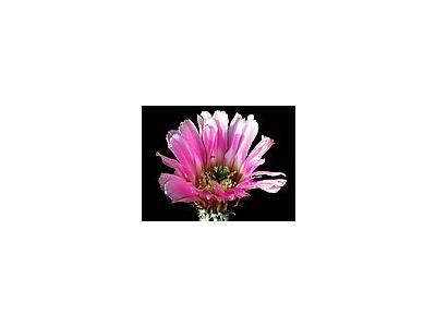 Photo Small Cactus 31 Flower