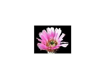 Photo Small Cactus 32 Flower