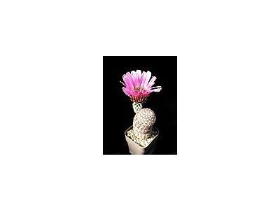 Photo Small Cactus 34 Flower