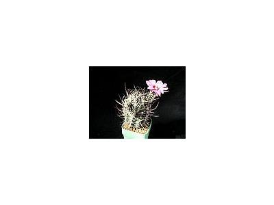 Photo Small Cactus 37 Flower