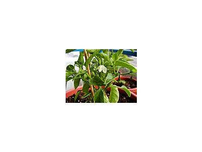 Photo Small Chilli Plants Food