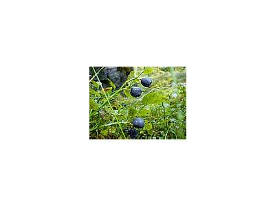Photo Small Blueberries Food